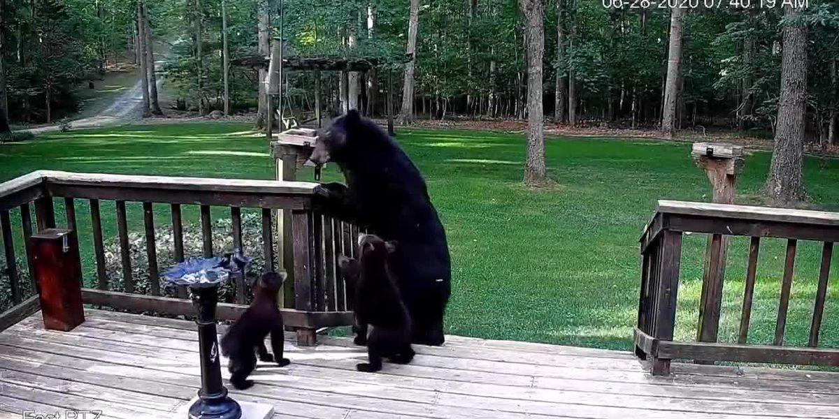 Family of bears visits Keswick Backyard