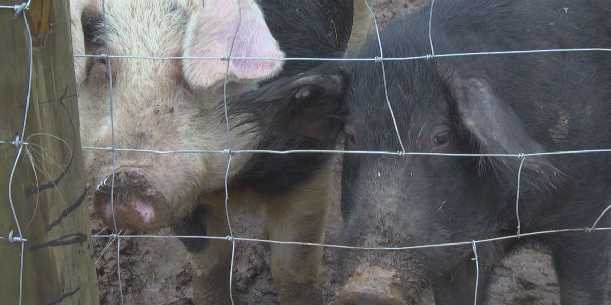 UVA and Virginia Tech team up to test COVID-19 vaccine in pigs