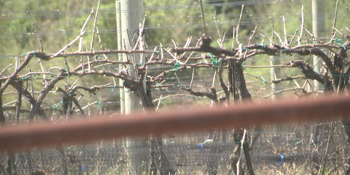 Wineries dodge icy bullet, survive late frost