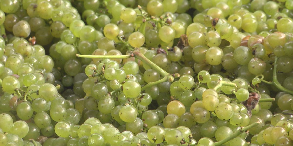 Wineries say 2020 harvest is far different than years past