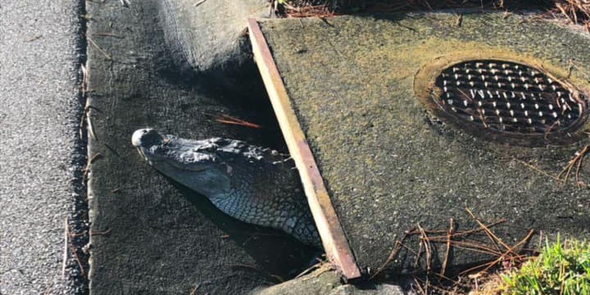 Deputies free alligator wedged in Florida storm drain