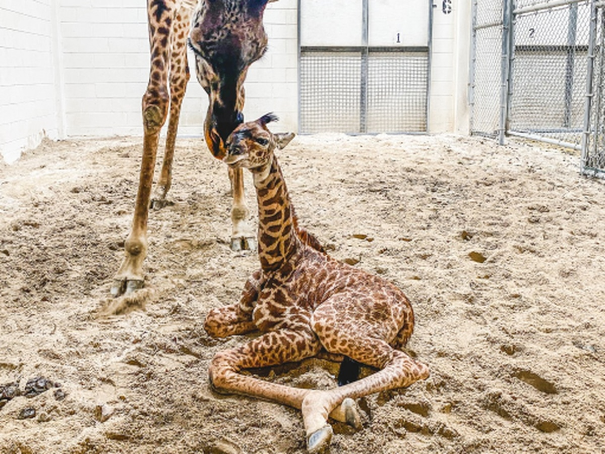 How you can help name The Virginia Zoo's new baby giraffe