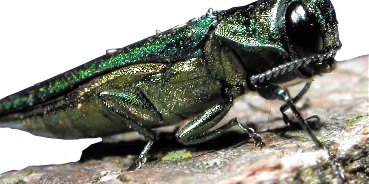 Charlottesville working to protect trees from emerald ash borer