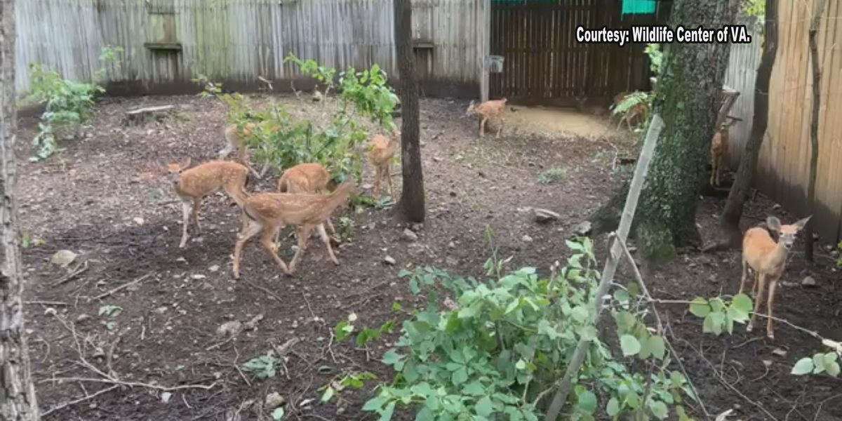 Wildlife Center of Virginia holds critter cam event for fawns
