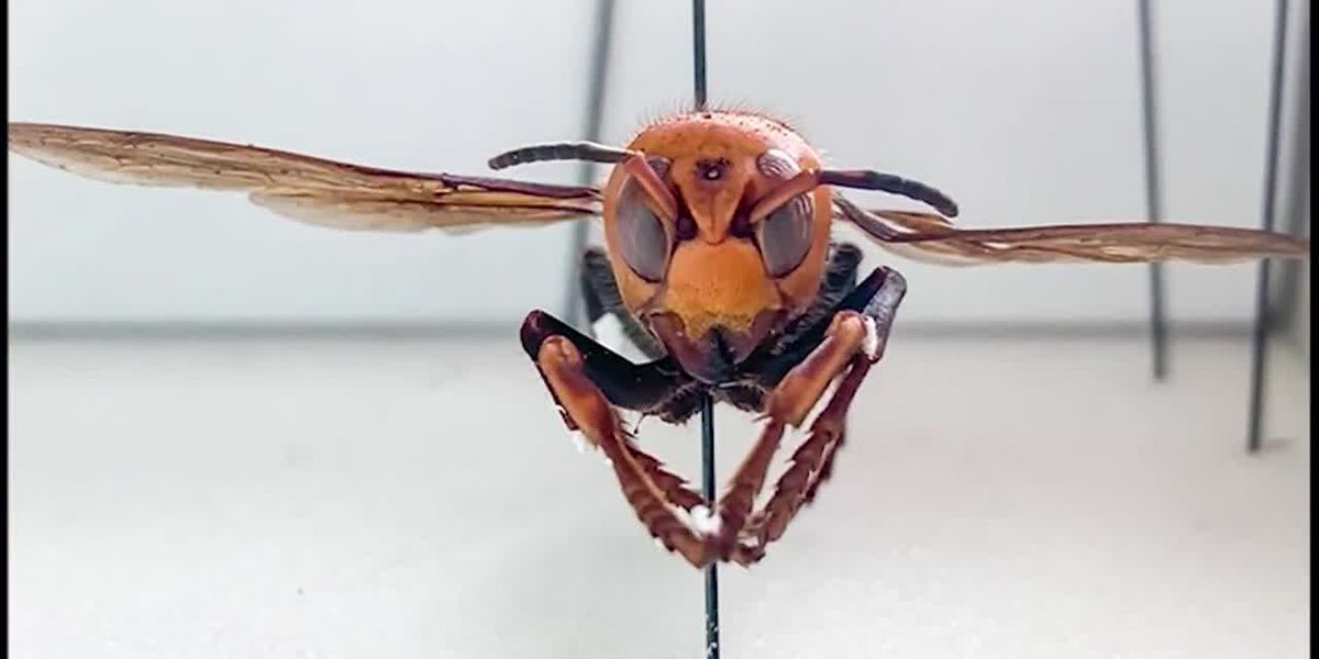 Virginia will not see 'murder hornets' in the near future