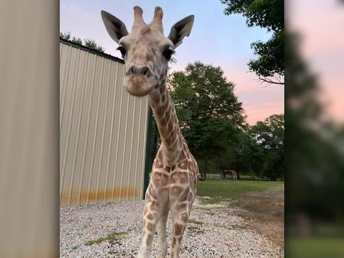 Azizi, April the Giraffe's youngest calf, unexpectedly dies