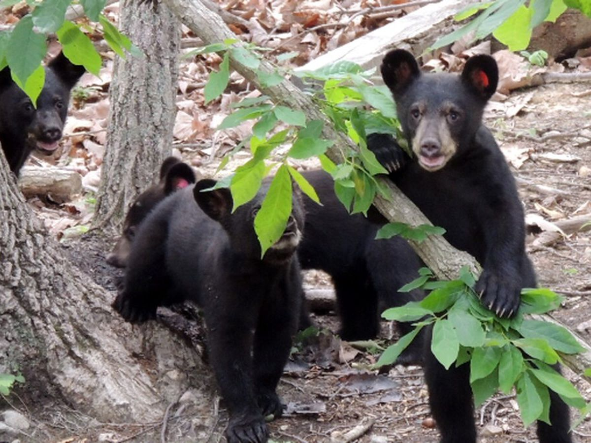 Dept. of Wildlife Resources reminds Virginians that bears are more active in spring