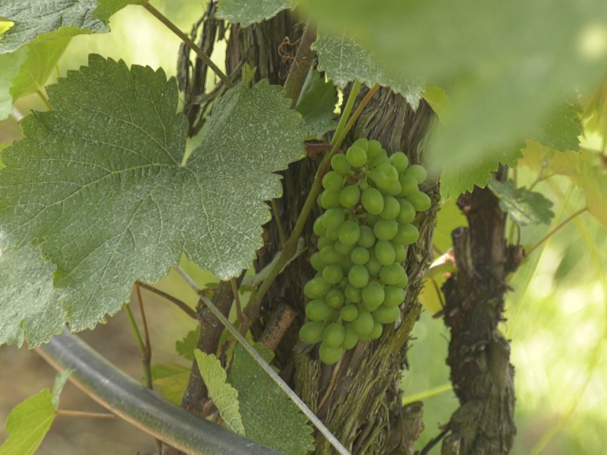 Wineries and vineyards hit hard after frost in May