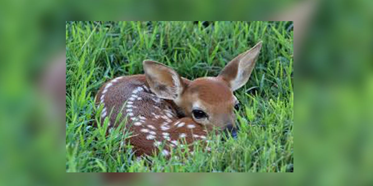 VDGIF reminding everyone to leave fawns alone