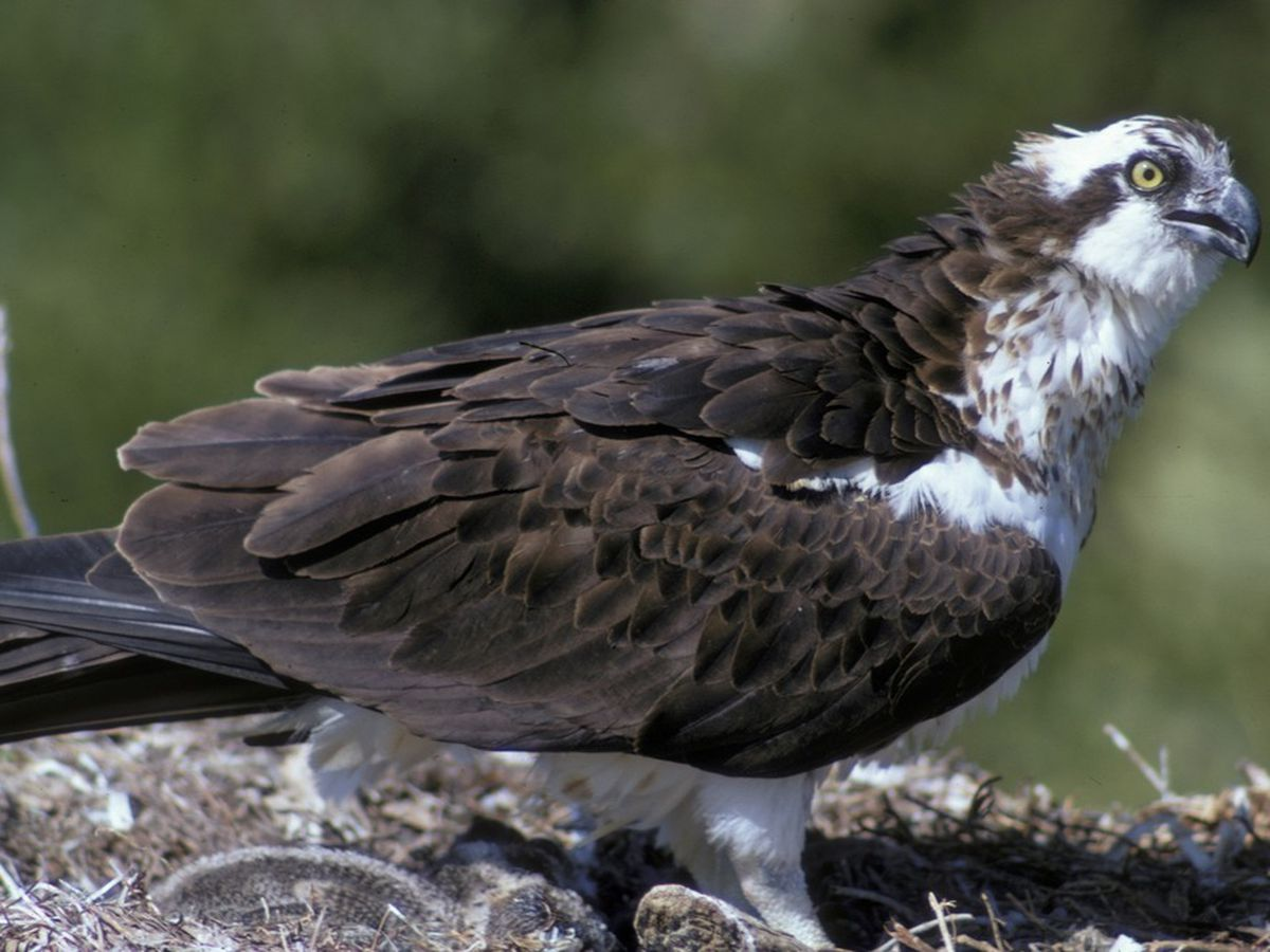 WATCH: Osprey flies with large Spanish mackerel in its claws over Myrtle Beach