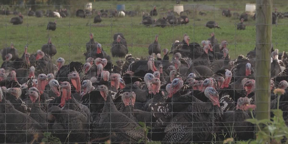 Turkey demand this Thanksgiving unfazed by COVID-19