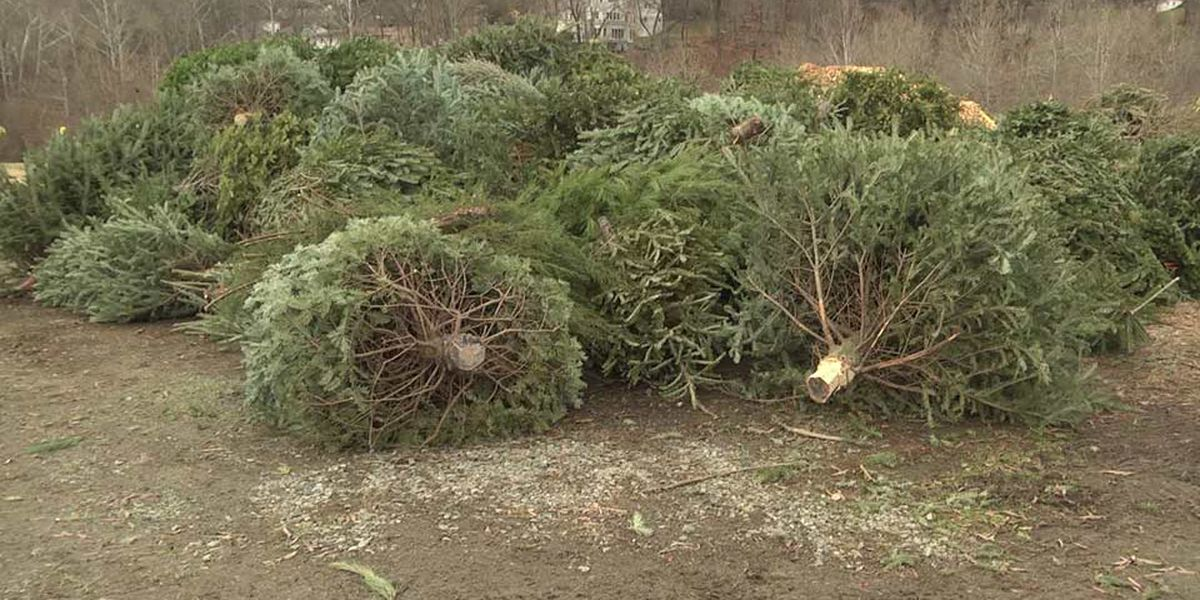 Albemarle Co. again offering free Christmas tree recycling